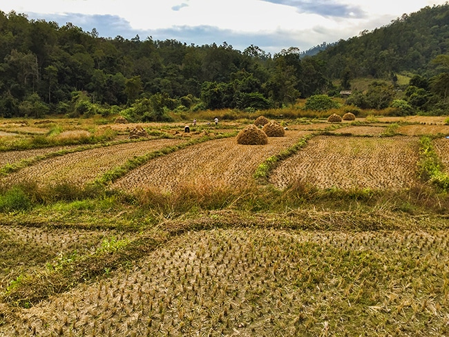 Rice harvest here too
