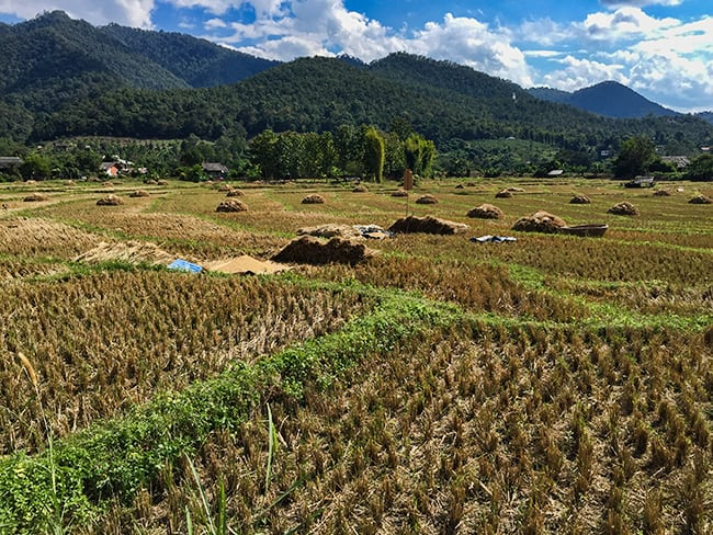 Rice harvest all over in the valley