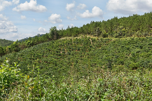 Coffee is eating its way into the forest