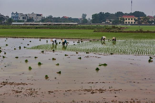 Rice planting in Rừng Thông