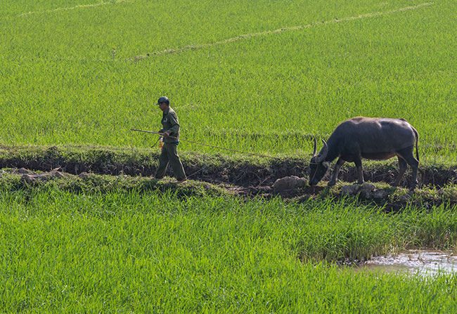 A man in a rice field with his buffalo