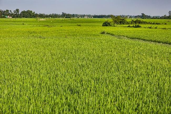 Rice Field in Triệu Trạch