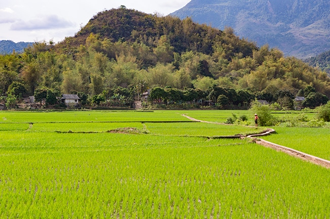 The rice fields of Pom Coong