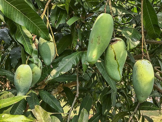 Mangoes are one of the  fruits in the garden