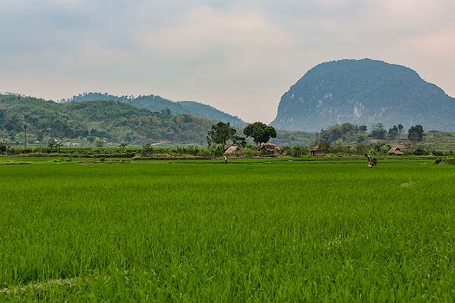Rice - in the valley and along the mountains as well