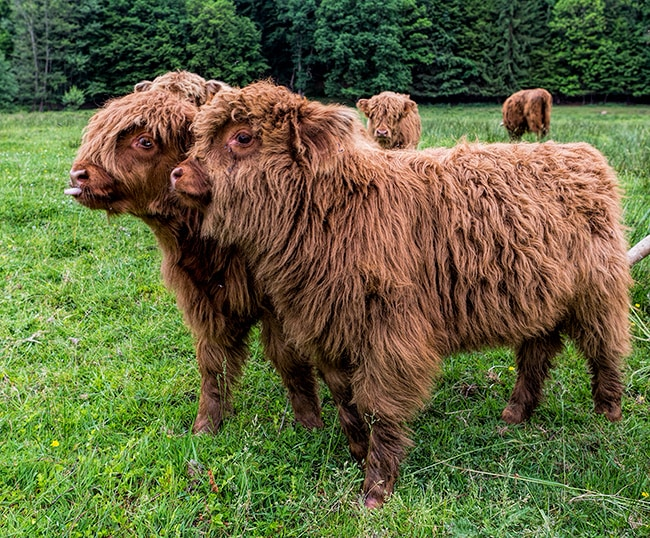 Highland cow baby from Scotland