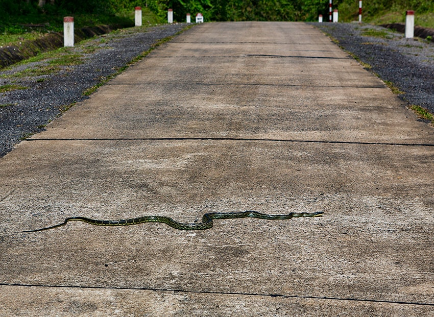 Snake on a road