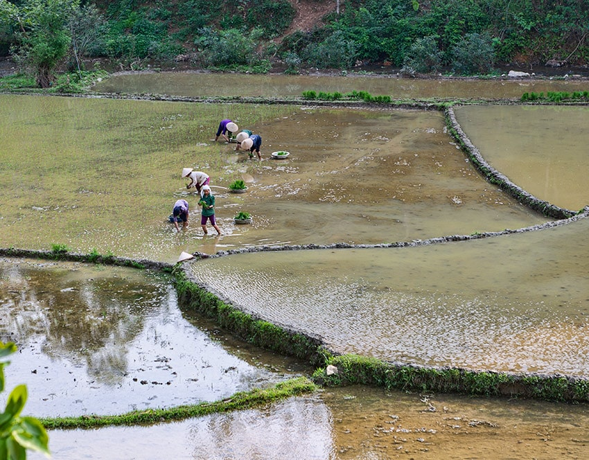 Rice planting a bit before Ban Luoc