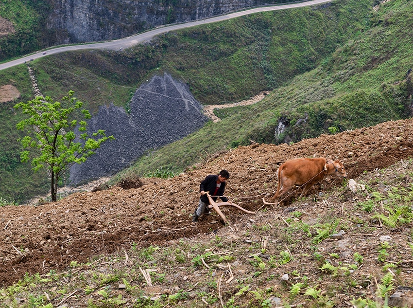 Cow working in the field