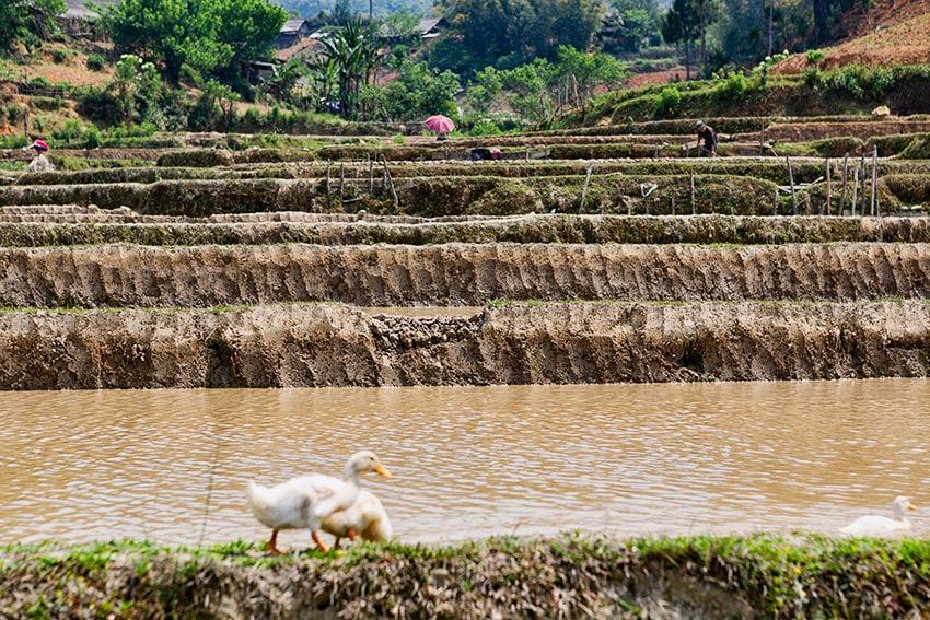 Prepared Rice Fields