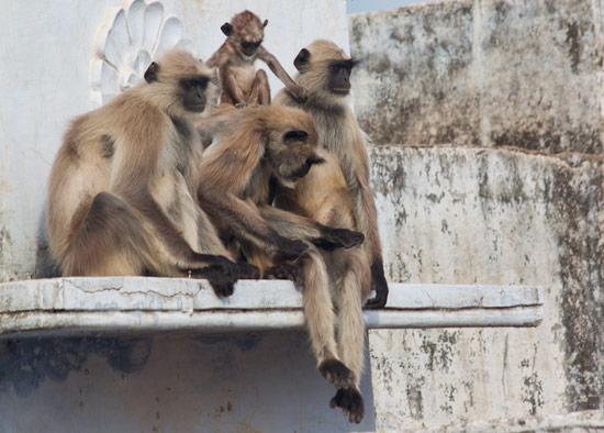 Pushkar Monkey