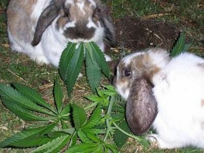 Crazy Bunnys